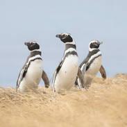 Magellanic Penguin - Manchot de Magellan - Spheniscus magellanicus