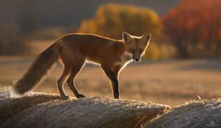Le renard champêtre