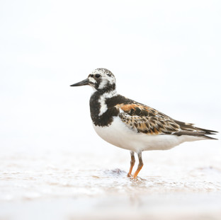 Tournepierre à collier- Ruddy Turnstone
