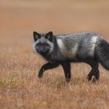 Renard croisé - Cross fox