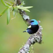 Calliste à cou bleu - Blue-necked tanager- Tangara cyanicollis