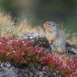 Spermophile de Columbia - Columbian ground squirrel