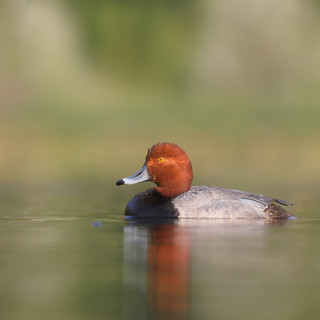 Fuligule à tête rouge - Redhead