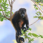 Singe hurleur - Howler monkey