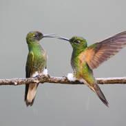 Colibri flavescent - Buff-tailed coronet - Boissonneaua flavescens
