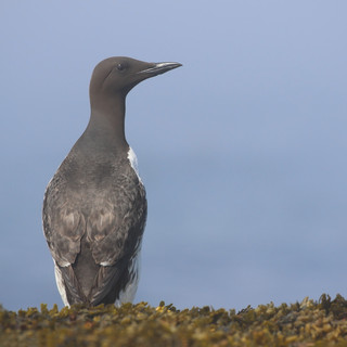 ​Guillemot marmette - Common murre