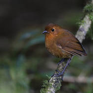 Grallaire rousse - Rufous antpitta - Grallaria rufula