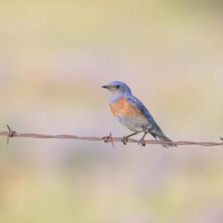 Merlebleu de l'ouest - Western Bluebird