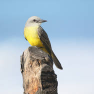Tyran mélancolique - Tropical Kingbird
