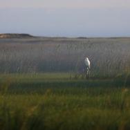 Le harfang des marais