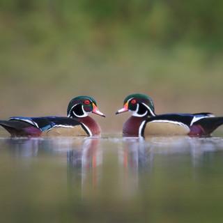 Canard Branchu  -  Wood duck