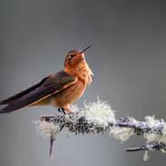 Colibri étincelant - Shining sunbeam - Aglaeactis cupripennis