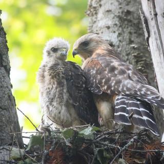 Buse à épaulettes - Red-shouldered hawk
