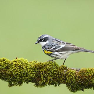 Paruline à crouion jaune - Yellow-rumped warbler