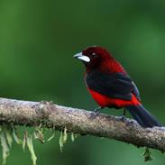 Tangara à dos rouge - Crimson-backed tanager - Ramphocelus dimidiatus