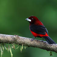 Tangara à dos rouge - Crimson-backed tanager - Ramphocelus dimidiatus