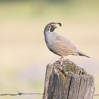 Colin de Californie - California quail