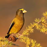 Gros-bec errant - Evening grosbeak