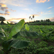Plantation de bananier