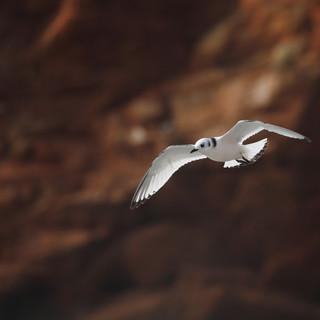 Mouette tridactyle juvénile - Black-legged Kittiwake