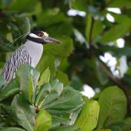 Bihoreau violacé, Yellow-crowned Night-Heron