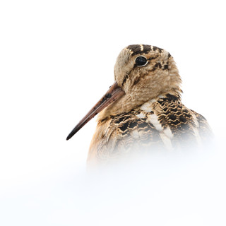 Bécasse d'Amérique -  American woodcock