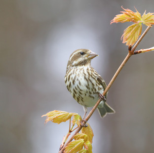 Roselin pourpré - Purple Finch