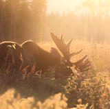 Orignal - Bull moose