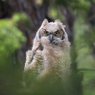Grand-duc d'Amérique  -   Great horned owlGrand-duc d'Amérique  -   Great horned owl