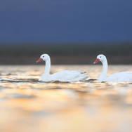 Coscoroba blanc - Coscoroba swan
