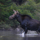 Orignal - Moose ♀