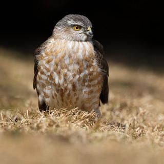 Épervier brun - Sharp-shinned Hawk