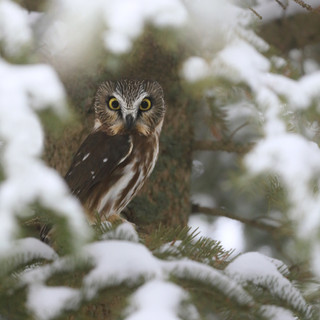 Petite Nyctale - Northern Saw-Whet Owl