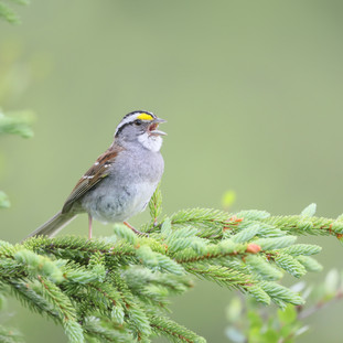 Bruant à gorge blanche - White-throated sparrow