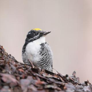 Pic à dos rayé - Three-toed woodpecker