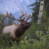 Wapiti - Elk