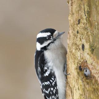 Pic mineur - Downy Woodpecker