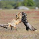 Renard argenté - Silver fox