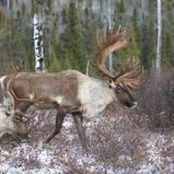 Caribou forestier - Woodland caribou Caribou forestier - Woodland caribou