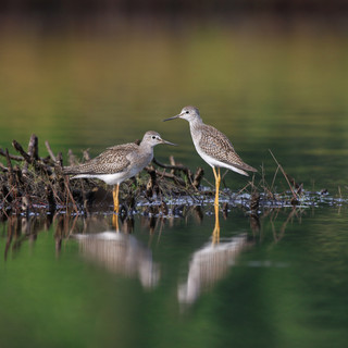 Petit chevalier  -  Lesser yellowlegs