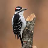 Pic chevelu - Hairy woodpecker