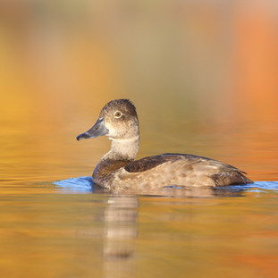 Fuligule à collier - Ring-necked duck ♀