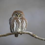 Chevêchette australe - Austral Pygmy-owl