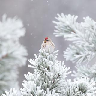 Sizerin flammé - Common redpoll