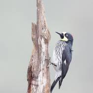 Pic glandivore - Acorn woodpecker - Melanerpes formicivorus