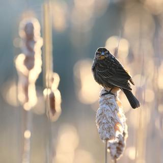 Carouge à épaulettes  -  Red-winged blackbird