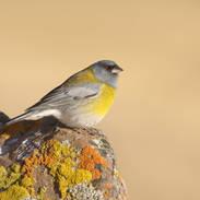 Phrygile à tête grise - Gray-hooded Sierra-Finch