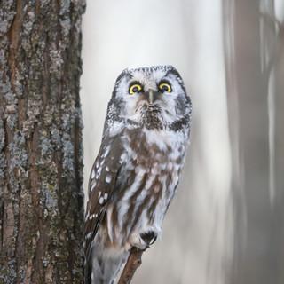 IMG_5844.JPGNyctale de Tengmalm - Boreal owl