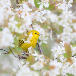 Paruline jaune - American yellow warbler
