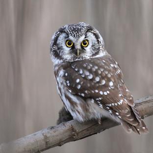 Nyctale de Tengmalm - Boreal owl